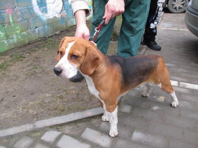 Beagle z ulicy Igielskiej