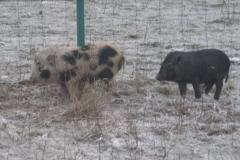 Egzotyczne świnki