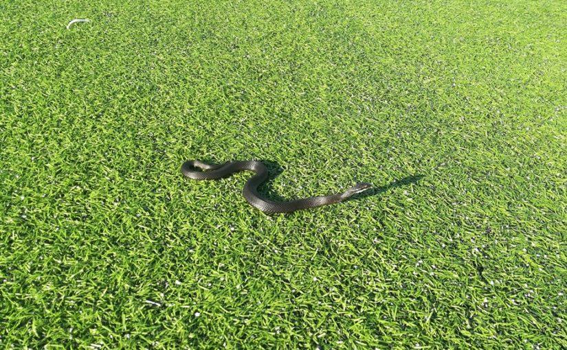 Wąż na płycie boiska.