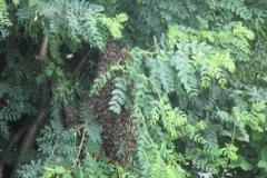pszczeli rój